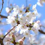 「桜が咲き始めました」を英語で言うと?