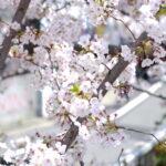 「桜が散る」「花びらが風に舞う」を英語でいうと?